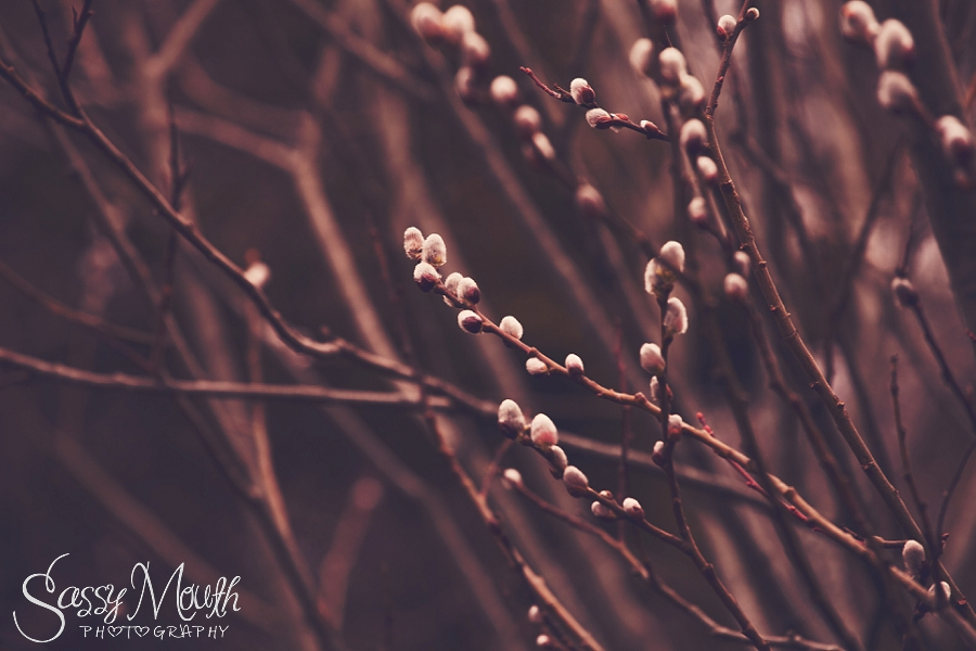 CT Nature Photographer Fine Art Print Pussy Willows Spring 2015 Sassy Mouth